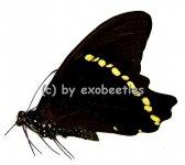 Papilio bromius bromius