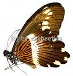 Papilio cyproeofila