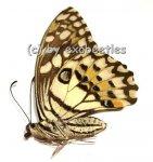 Papilio demoleus malayanus  A2