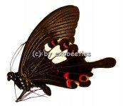 Papilio helenus enganius