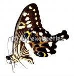 Papilio lormieri lormieri