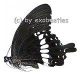 Papilio polytes romulus