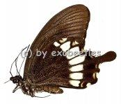 Papilio prexaspes pitmani  A2