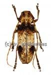 Parabixadus brunneoplagiatus  ( 30 - 34 )