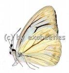 Pareronia anais  A2