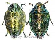 Polybothris alboplagiata ( grüne var. )  ( 20 - 24 )