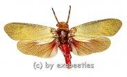 Polydictya uniformis