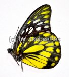 Prioneris thestylis thestylis  A1/A-