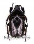 Pseudotorynorrhina japonica ( schwarze var. )  ( 25 – 29 )