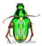 Pygora ignita ( grüne var. )  ( 10 - 19 )