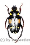 Pygora ( Bourgoinigora ) quatnordecimguttata  ( 10 - 14 )  A1-