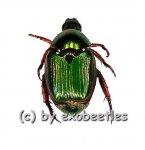 Rutelidae spec. #17  ( 10 - 14 )