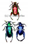 Sagra longicollis blau / grün / gelb / rot