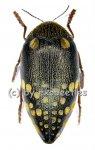 Sternocera castanea boucardii  ( 50 - 54 )