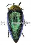 Sternocera pulchra fischeri ( grüne var. )