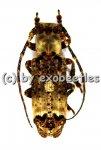 Sthenias cylindrator  ( 20 - 24 )