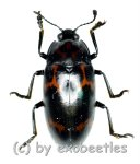 Tenebrionidae spec. #27  ( 15 - 19 )