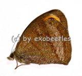 Ypthima spec.  A1/A-