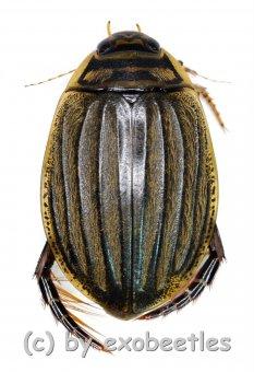 Acilius sulcatus  ( 15 – 19 )