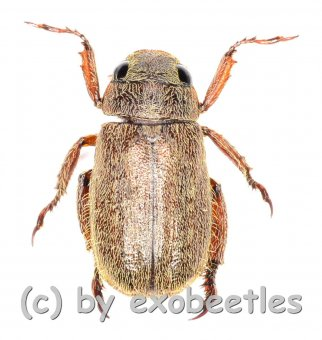 Adoretus sinicus  ( 10 - 14 )