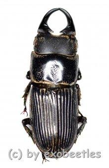 Aegus laevicollis laevicollis  ( 15 - 19 )