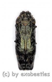 Agrilus spec.  ( 5 – 9 )
