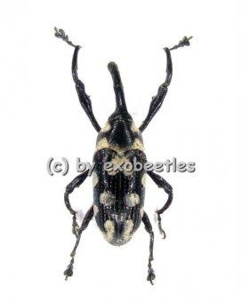 Alcidodes leucospilus