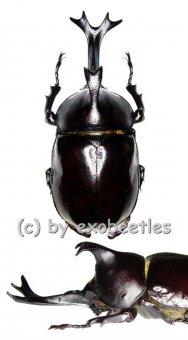 Allomyrina ( Trypoxylus ) dichotomus politus  ( 65 – 69 )