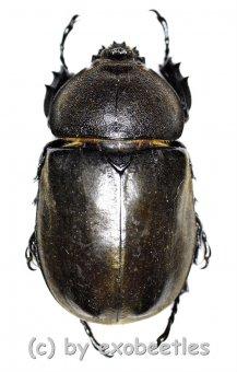 Allomyrina dichotomus ssp.  ( 40 - 49 )