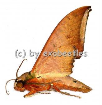 Ambulyx moorei  A2