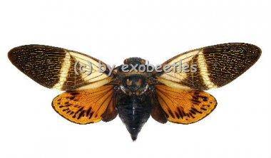 Angamiana floridula ( Spread )
