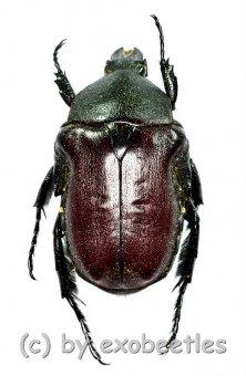 Anochilia scapularis  ( 15 – 19 )