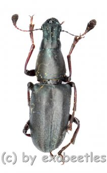 Anthribidae spec. #6  ( 15 – 19 )