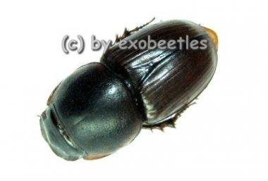 Aphodiidae spec.