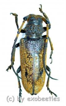 Apriona swainsoni  ( 30 - 34 )