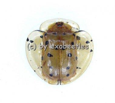 Aspidomorpha miliaris ( Cassidinae )