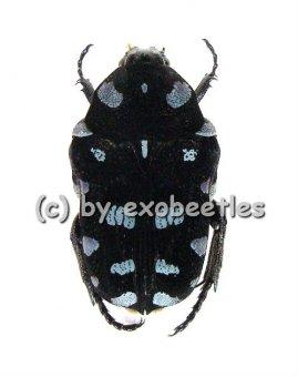Astraea ( Euglypta ) coeruleosinata