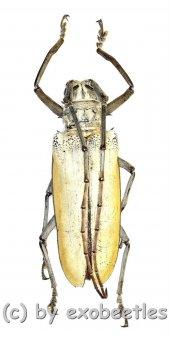 Batocera hercules  ( 55 – 59 )