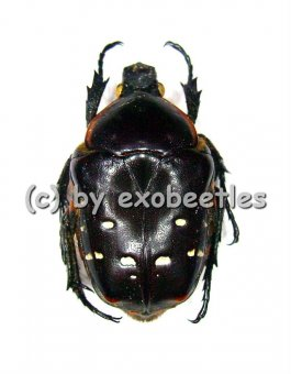 Bothrorrhina ochreata  A1-
