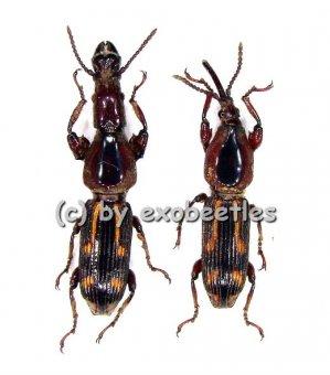 Brentidae spec. #4  ( M 20 - 25 )