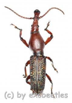 Brentidae spec. #9  ( 20 - 24 )