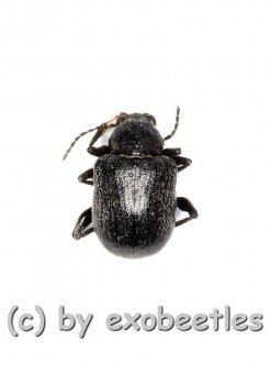 Bromius obscurus ( Rebenfallkäfer )  ( 5 – 9 )