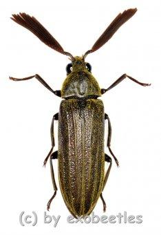 Callirhipidae spec. #2  ( 25 – 29 )