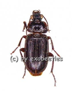 Carabidae spec. #7  ( 15 - 19 )  A2