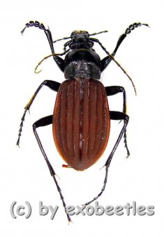 Carabus ( Aulonocarabus ) canaliculatus jankowskiellus  ( 30 - 34 )