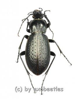 Carabus ( Eucarabus ) spec.  ( 20 - 24 )