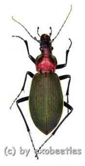 Carabus ( Coptolabrus ) jankowskii jankowskii  ( 30 - 34 )