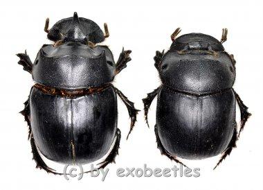 Catharsius molossus  ( M 25 – 34 )