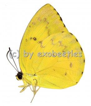 Catopsilia scylla cornelia