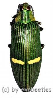 Catoxantha opulenta opulenta  ( 50 – 54 )